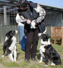 Border Collie hvalpe hos Kennel Solfari