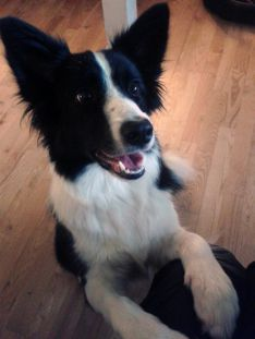 Border Collie hvalpe